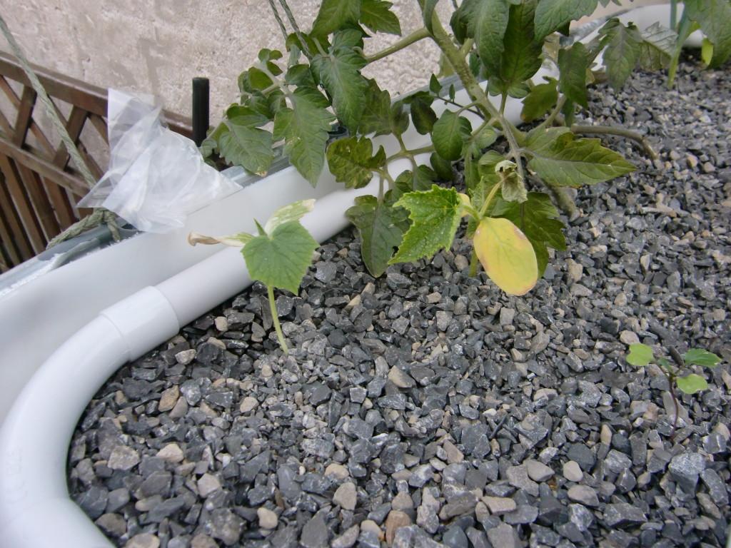 Pflanzen mit Mangelerscheinungen