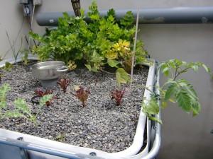 Salat im Growbed